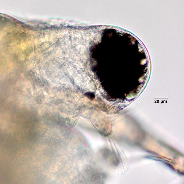 Ceriodaphnia dubia