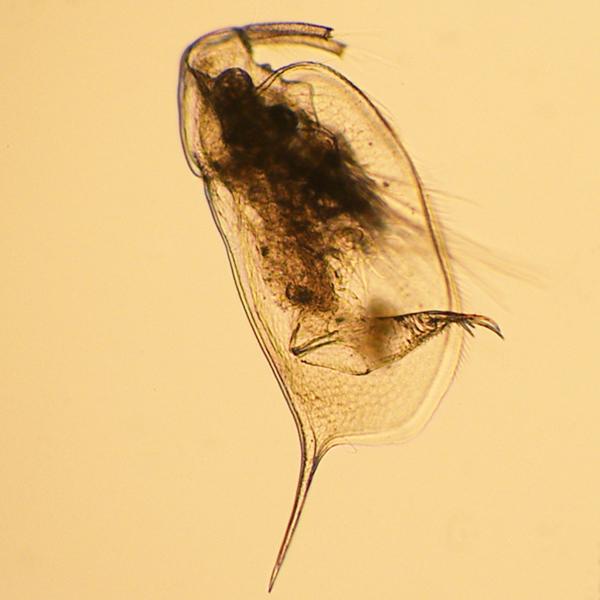Ophryoxus gracilis