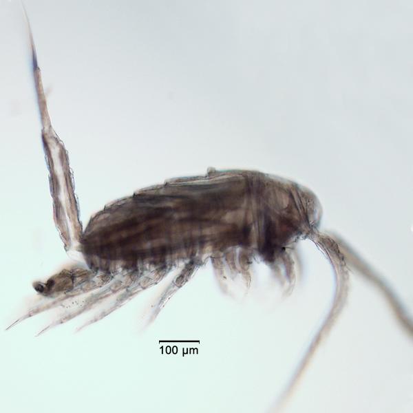 Eurytemora affinis