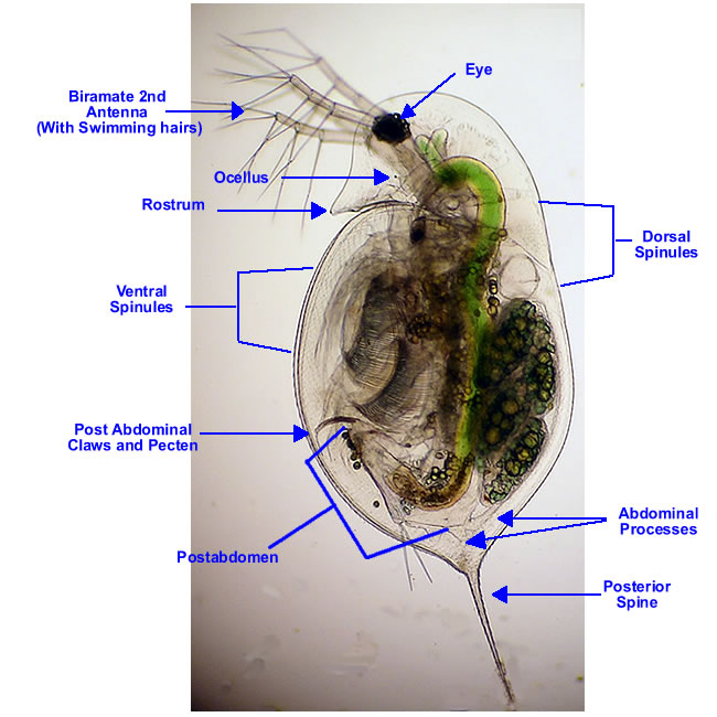 daphnia | my aquatic eden diagram of daphnia