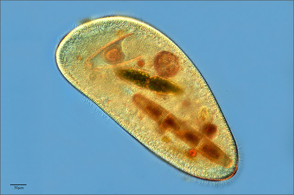 Phycokey - Paramecium images