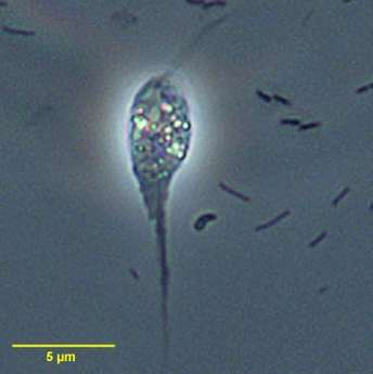 Phycokey - Cercomonas images