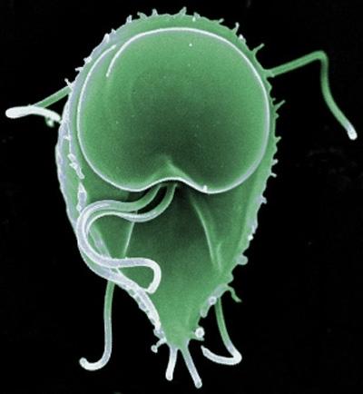 Phycokey -- Giardia (flagellate) images