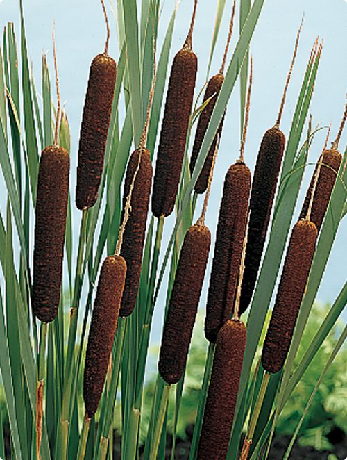 Cat Tail Plant Seeds