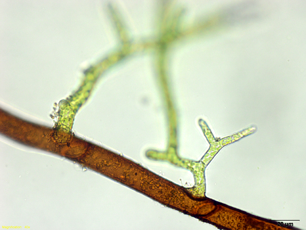 gametophyte stage - photo #48