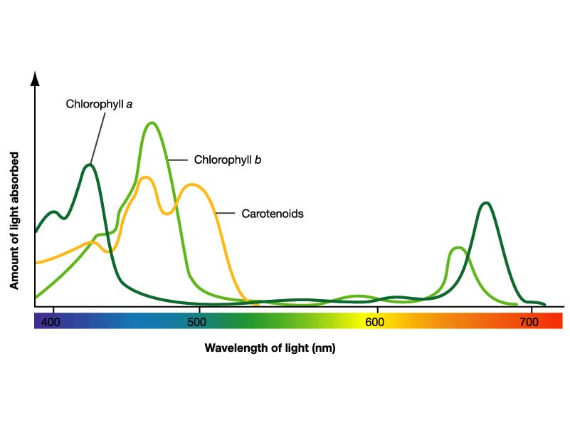 chlorophyll and carotenoids relationship