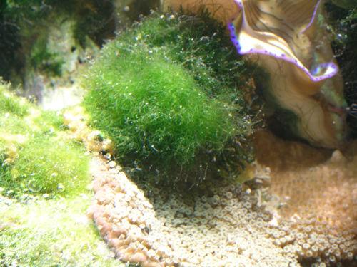 how to kill hair algae