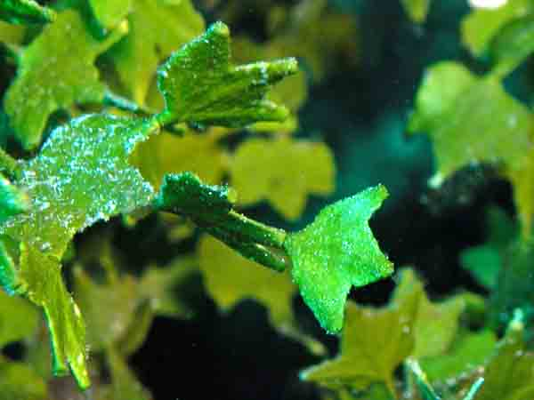 Phycokey halimeda images for Green pflanzen