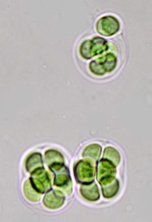 phycokey gloeocapsa images