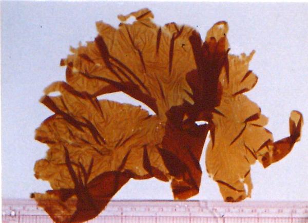 gallery porphyra umbilicalis